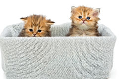 Two small British kitten in a knitted box Stock Image