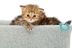 Two small British kitten in a knitted box Royalty Free Stock Images