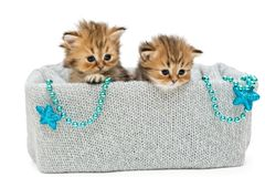 Two small British kitten in a knitted box Stock Photo