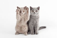 Two small british kittens. On white background Royalty Free Stock Photos