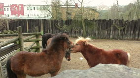 Two small brown pony`s playing with each other stock video footage