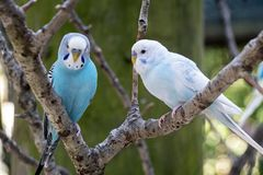 Two Budgies sitting on a Branch Outside Budgerigar stock photos