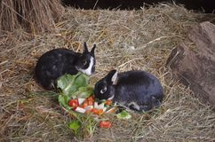 Two small bunnies eating vegetables stock photography