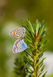 Two small butterflies Royalty Free Stock Image