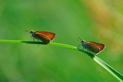 Two small butterflys Royalty Free Stock Photo