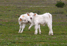 Two charolais calves. Two small charolais calves in the field stock photo