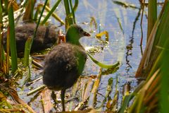 Two small chicken coot bathes in the middle of the sunny day royalty free stock photo