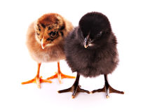 Two small chicken isolated Royalty Free Stock Image