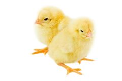 Two small chicken a over white background Royalty Free Stock Photography