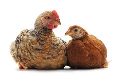 Two small chickens. Two small chickens on white background stock photo