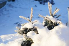 Two small Christmas tree covered with snow stock photography