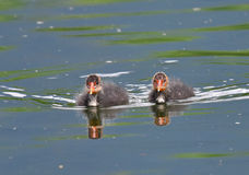 Two Small coot swimming Royalty Free Stock Images