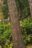 Two small curious squirrel on a tree trunk Stock Photography