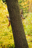 Two small curious squirrel on a tree trunk Stock Image
