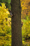 Two small curious squirrel on a tree trunk Stock Photo