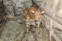 Two small and cute calves Stock Images