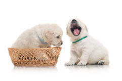 Two small cute dog puppy Stock Images