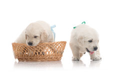 Two small cute dog puppy Royalty Free Stock Images