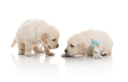 Two small cute dog puppy Royalty Free Stock Photography