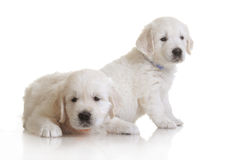 Two small cute dog puppy Stock Image