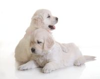 Two small cute dog puppy Royalty Free Stock Photos