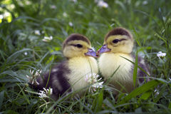 Two small cute duckling sitting in the grass Royalty Free Stock Photo