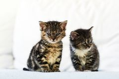 Two small and cute kittens sitting on the couch at home. Two small and cute kittens sitting on the couch at home royalty free stock images
