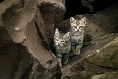 Two small cute, wild stray kittens. Two small. cute feral wild kittens among rocky terrain Royalty Free Stock Images