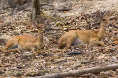 Two Small deer in Chiangmai Zoo , Thailand Royalty Free Stock Photos