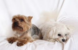 Two Small Dogs Royalty Free Stock Photography