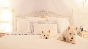 Two small dogs on the bed in bedroom stock video