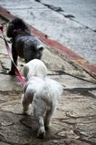 Two small dogs being walked royalty free stock image