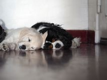 Two small dogs huddled together for a nap stock image