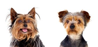 Two small dogs Stock Photography