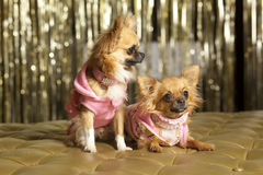 Two small dogs in pink. Chiuauas Royalty Free Stock Image