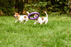 Two small dogs playing with big toy. Jack Russell Terriers at park Stock Photography