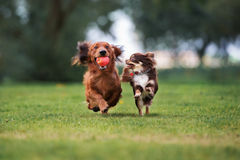 Two small dogs running outdoors stock photography
