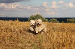 Small running dogs in a stubble field. Two small dogs are running in a stubble field in the sunshine stock photo
