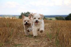 Small running dogs in a stubble field. Two small dogs are running in a stubble field in the sunshine royalty free stock photo