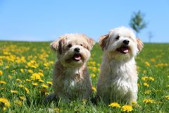 Portrait of two small dogs in the sunshine. Two small dogs are sitting on a field with dandelions in the sunshine Royalty Free Stock Image
