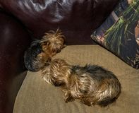 Two small dogs sleeping on a cosy couch stock photo