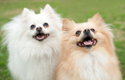 Two Small Dogs Smiling Royalty Free Stock Photo
