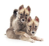 Two small dogs. Royalty Free Stock Image
