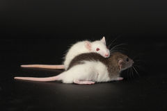 Two small domestic rat Royalty Free Stock Photos