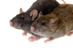 Two small domestic rats Royalty Free Stock Photography