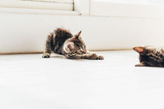 Two Small Domestic Tabby Cats Playing on the Floor Royalty Free Stock Images