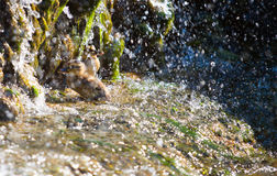Two small duck bathing under a waterfall Royalty Free Stock Photography