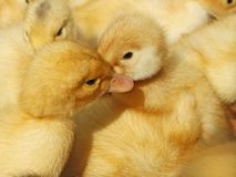 Two small ducklings in herds Royalty Free Stock Photos
