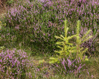 Two Small Fir Trees. Growing together amongst the heather in Cliff Ridge Wood, Yorkshire, England Stock Photography