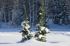 Two small fir-trees in a taiga in Sibire in the winter Royalty Free Stock Images